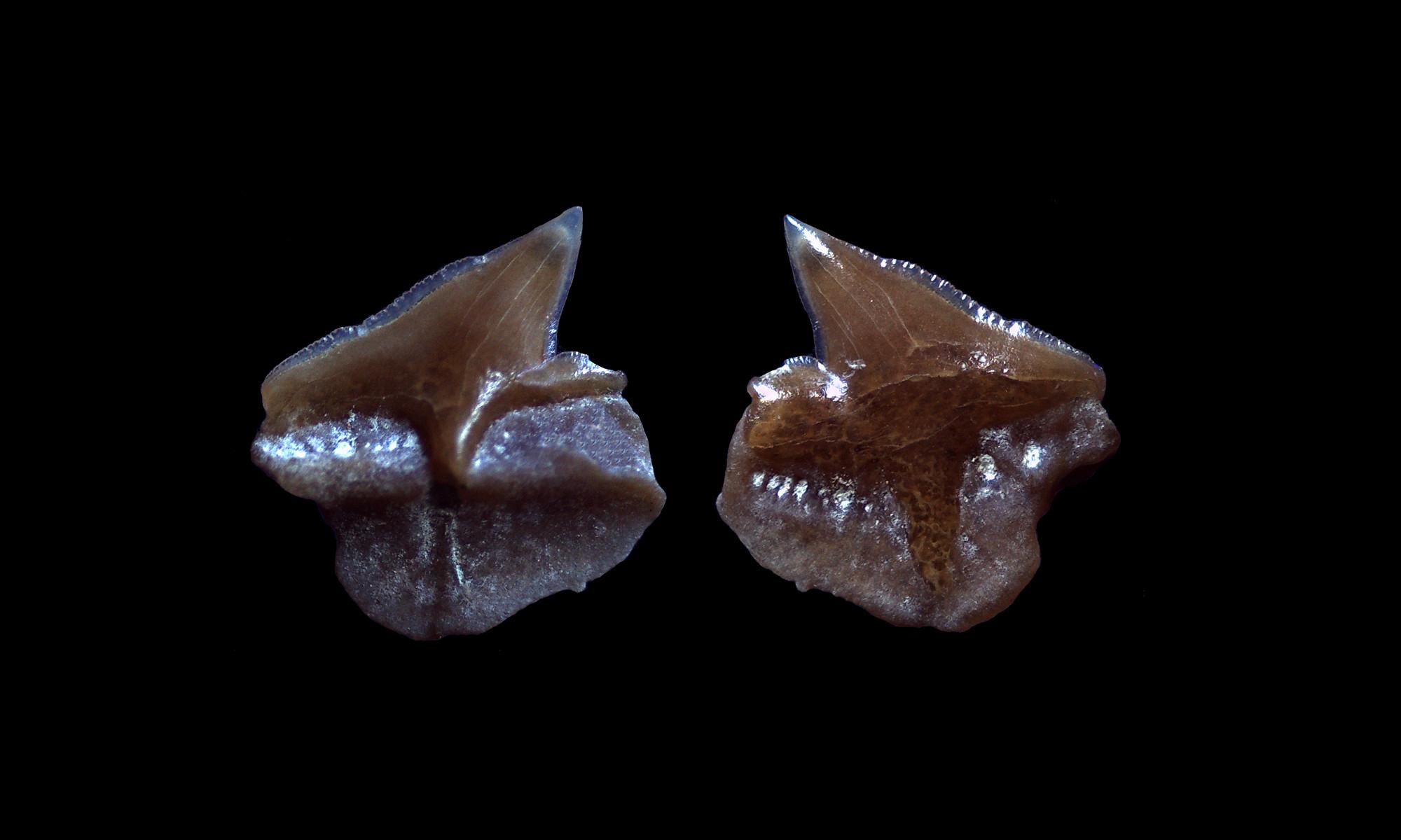 Haie und Rochen der Molasse