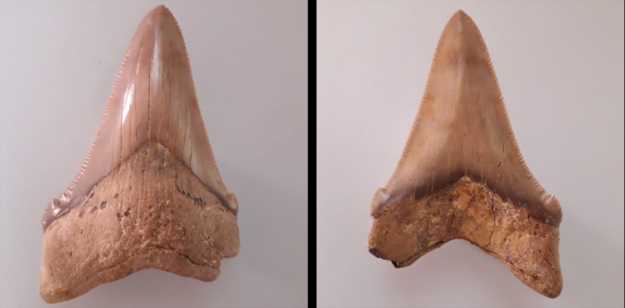 Otodus (Megaselachus) chubutensis, Rengetsweiler, Breite: 60,4 mm, Höhe: 81,3 mm, Lateralzahn, links lingual, rechts labial, Sammlung Unger (CU-R-3)