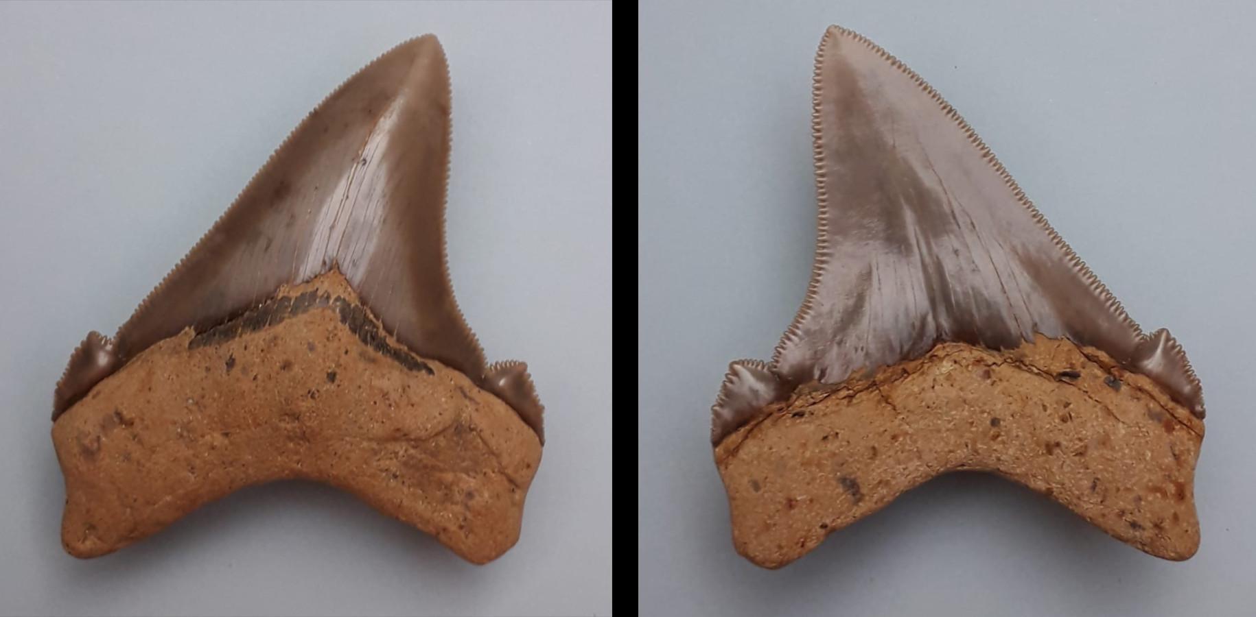 Otodus (Megaselachus) chubutensis, Rengetsweiler, Breite: 66,2 mm, Höhe: 71,3 mm, Lateralzahn, links lingual, rechts labial, Sammlung Unger (CU-R-2)