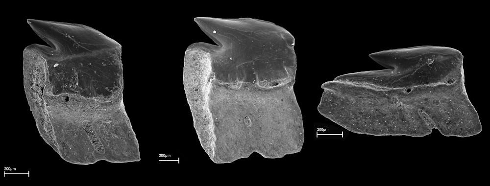Etmopterus sp., laterale Unterkieferzähne, Mitterdorf, Neuhofener Formation, Ottnangium, Maßstab: 200 μm.