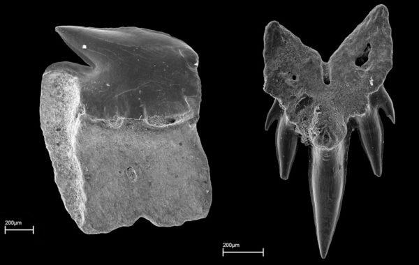 Etmopterus sp., Neuhofener Formation, Ottnangium, Mitterdorf, Bayern