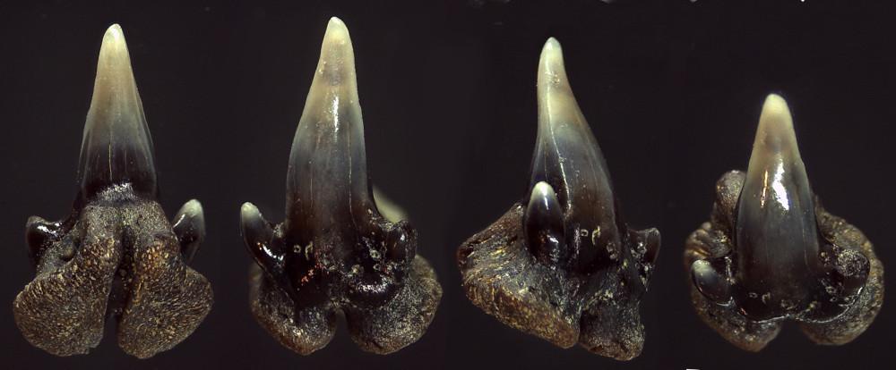 Pachyscyllium dachiardii (LAWLEY, 1876)
