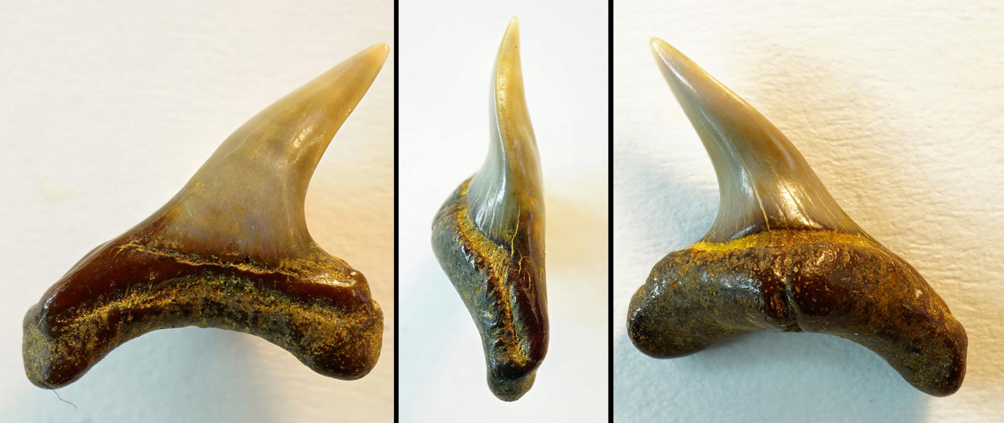 Alopias exigua, lateraler Zahn, Höch nähe Passau, Bayern, NHMW1990/1487/0188