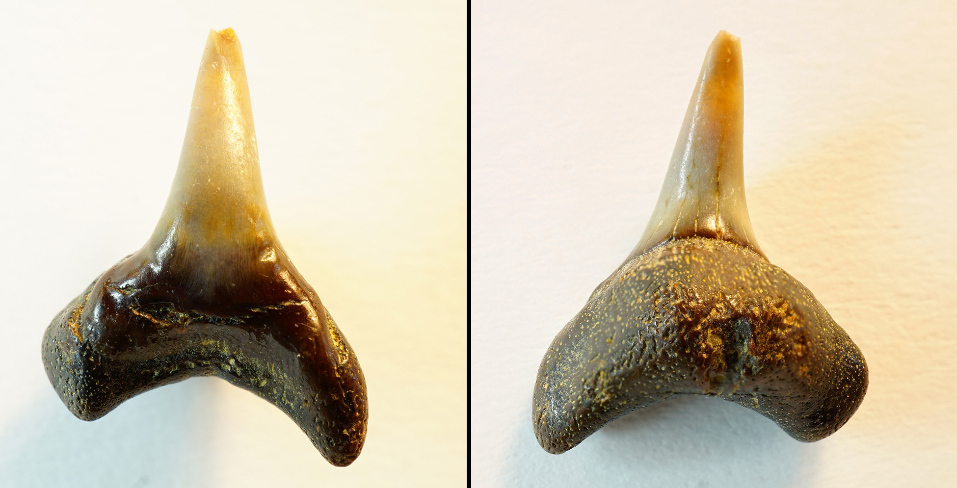 Alopias exigua, anteriorer Zahn, Höch nähe Passau, Bayern, NHMW1990/1487/0189