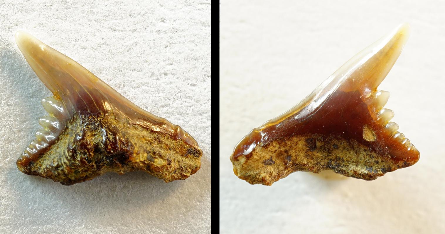 Chaenogaleus affinis, (NHMW/1978/1966/4)