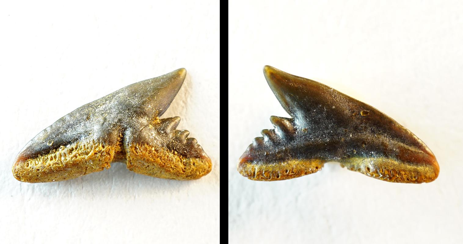 Chaenogaleus affinis (NHMW/1978/1966/8)