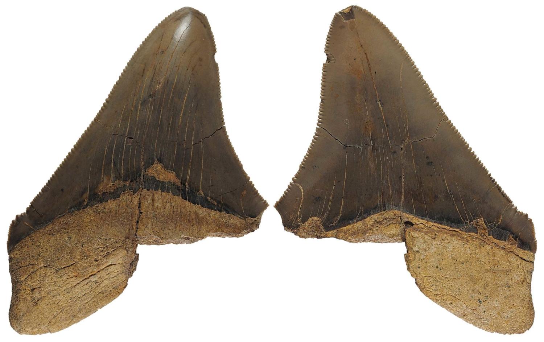 Otodus (Megaselachus) chubutensis